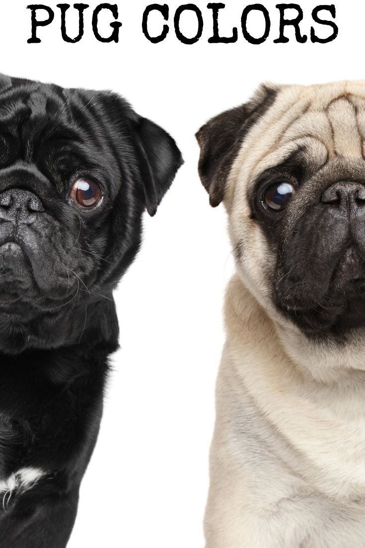 An Look At The Different Pug Colors And The Most Popular Black