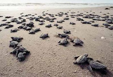 There are 7 species of marine sea turtle, and all are endangered: green, loggerhead, Kemp's ridley, olive ridley, hawksbill, leatherback and flatback.     I must see at least one hatching. Preferably all. Sha, and monkeys might fly outta my butt!