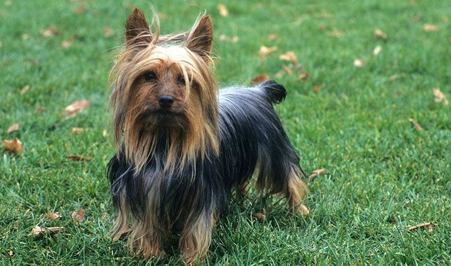 Everything you need to know about Silky Terriers, including grooming, training, health problems, history, adoption, finding good breeders, or more.