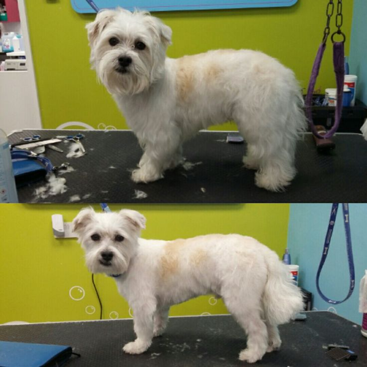 Yorkie shih tzu mix groomed in a Comb 3 Yorkshire trim