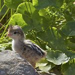 Pui de prepelita - Cresterea puilor, hranire, temperatura, mortalitate