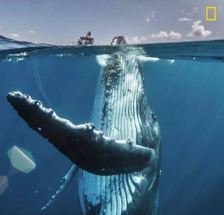 حجم الحوت الأحدب مقارنة بالقارب الصوره اختيرت من ضمن أجمل اللقطات لهذا العام In 2020 National Geographic Photography National Geographic Travel National Geographic