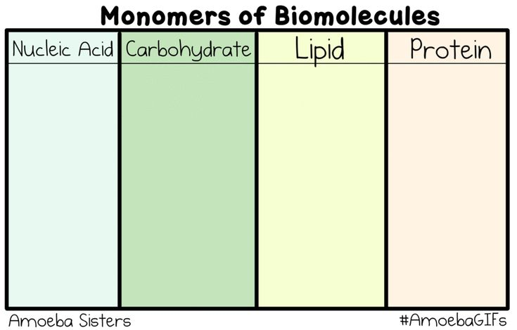 Our new GIF shows the monomers (building blocks) of biomolecules! Our monomers are cute, but be sure to look up their awesome chemical structure!http://www.amoebasisters.com/amoebagifs.html