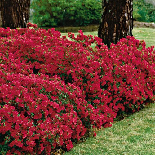 red azalea-my favorite color.. the darker the red the better!