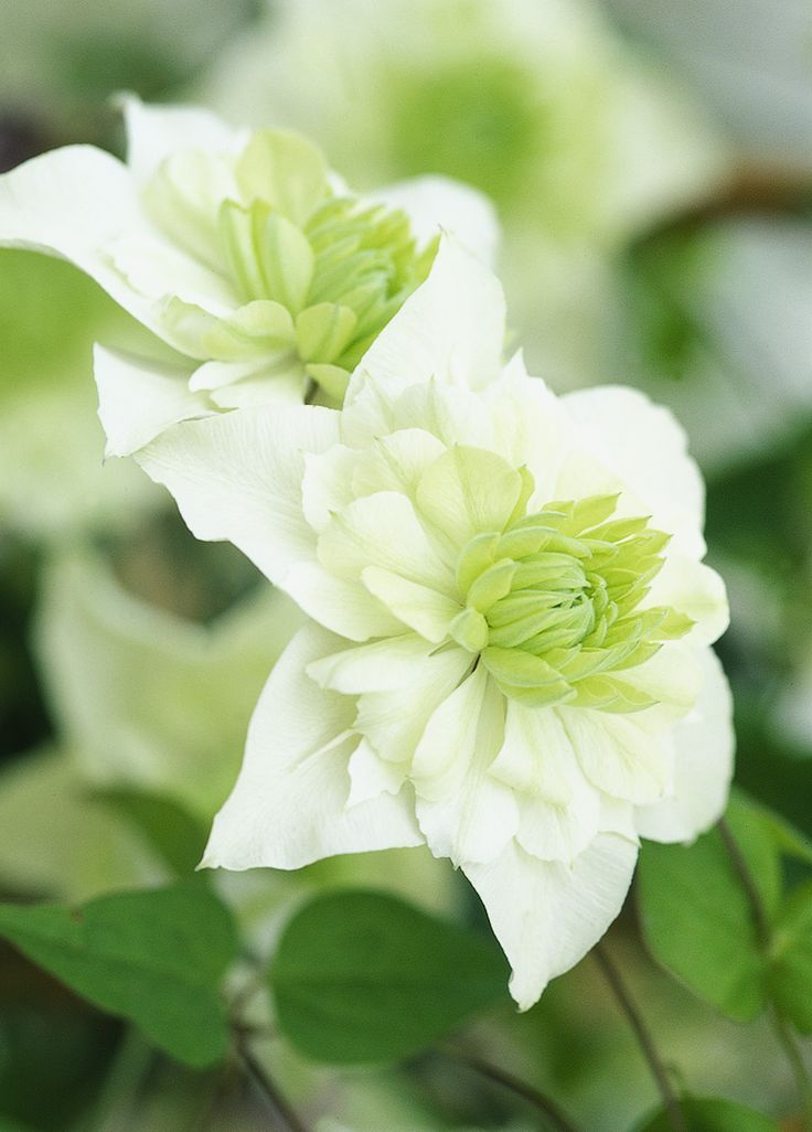 Clematis florida var. flore-pleno: an evergreen climber, with glossy dark green leaves which turn bronze in winter. Graceful cream-white flowers in the summer, and seedheads in the autumn. Grow it up a fence or trellis, or train to climb through shrubs. Find out more: http://www.gardenersworld.com/plants/clematis-florida-var-flore-pleno/1933.html