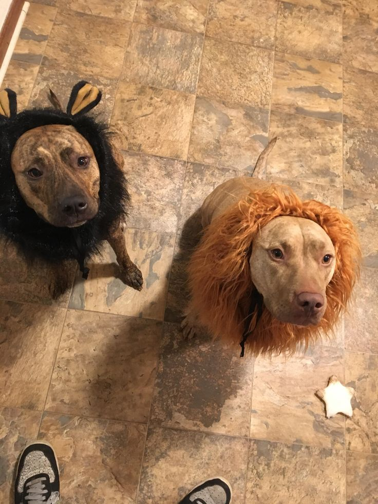 Scar and Mufasa ready for Halloween.