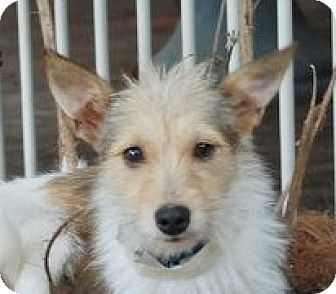 Hagerstown, MD - Yorkie, Yorkshire Terrier/Parson Russell Terrier Mix. Meet Avery B, a dog for adoption. http://www.adoptapet.com/pet/18462845-hagerstown-maryland-yorkie-yorkshire-terrier-mix