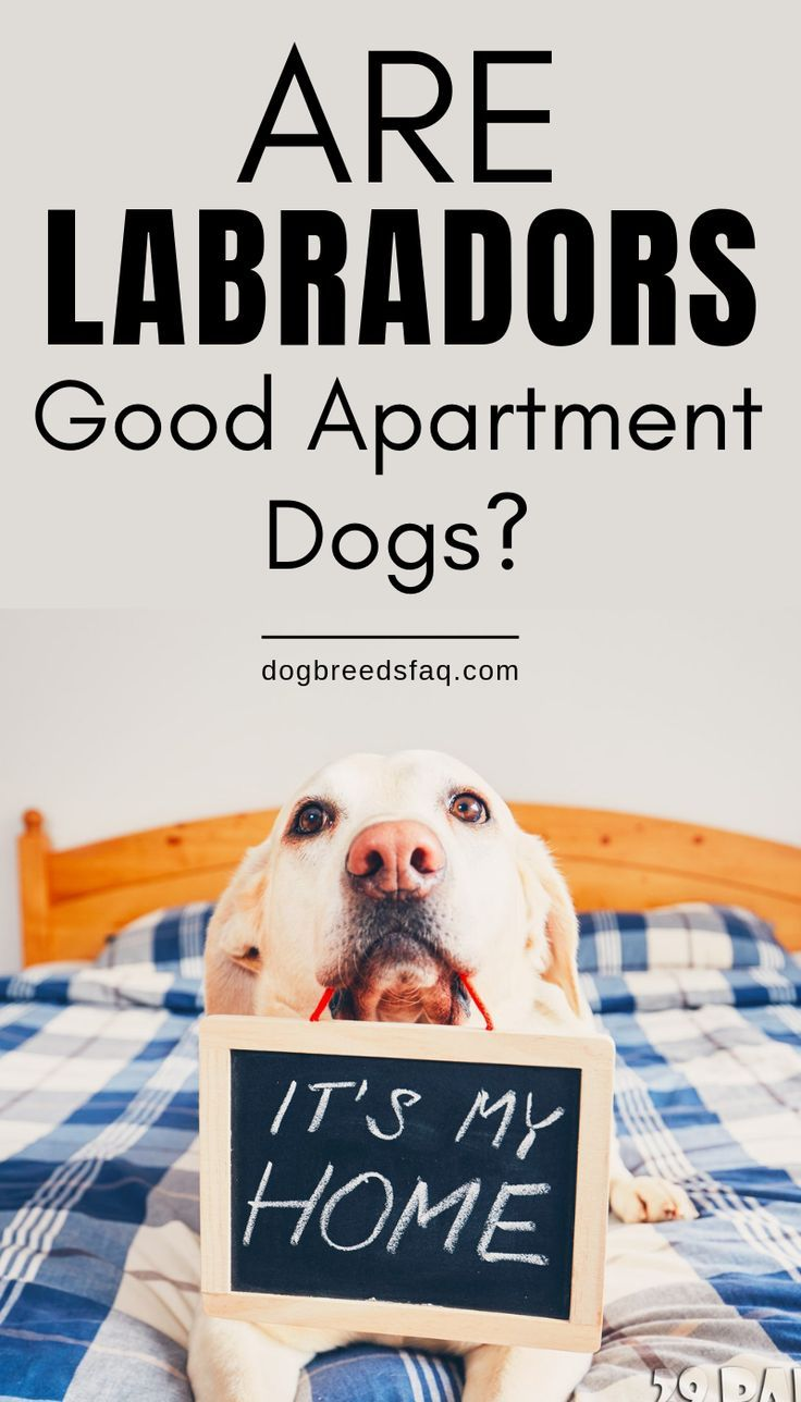 Are Labradors Good Apartment Dogs Dog Breeds Faq Apartment Dogs Best Apartment Dogs Dog Breeds