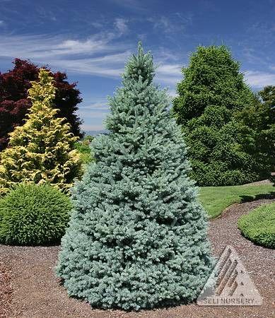 25 best Blue Colorado Spruce images on Pinterest Colorado