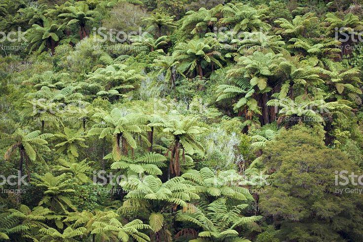 Native New Zealand/ Aotearoa Ponga (Punga) Tree Ferns royalty-free stock photo