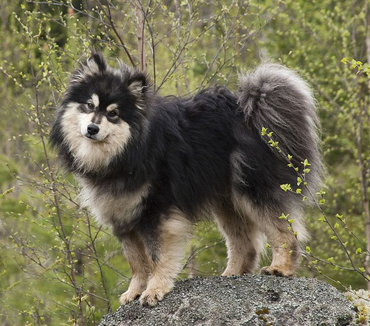 Finnish Lapphund Puppy