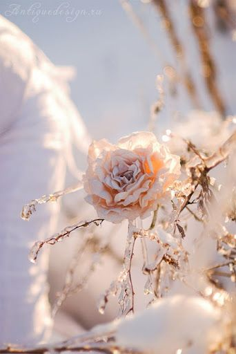Frozen rose. #winter #snow #roses