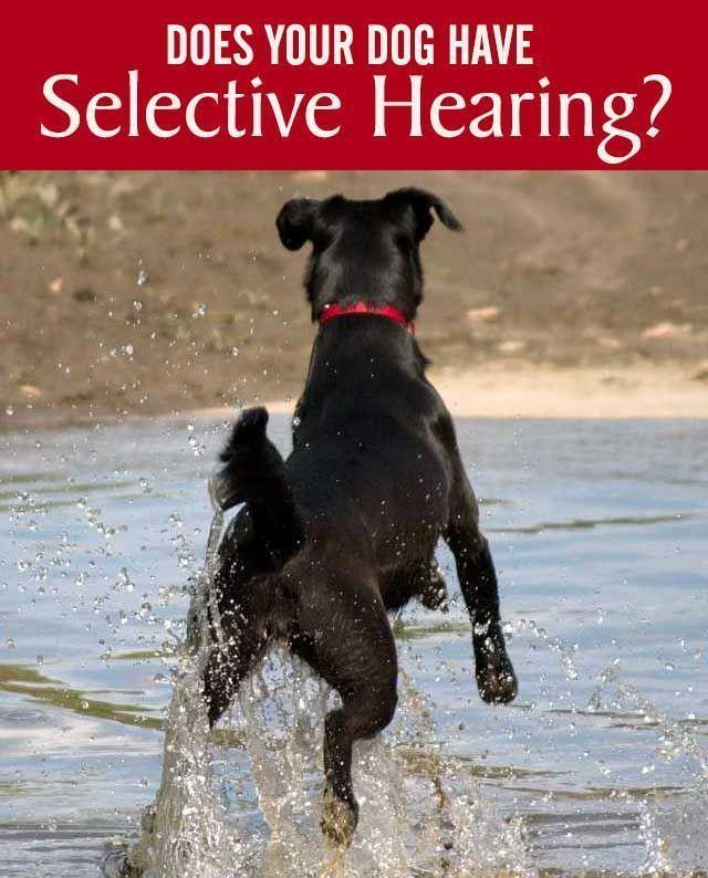 Help! My Dog Has Selective Hearing @KaufmannsPuppy #puppytrainingdiy #DogTips #doghelp
