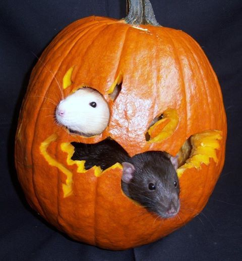 Rats in A Pumpkin,,,This is amazingly Beautiful... Happy Halloween !