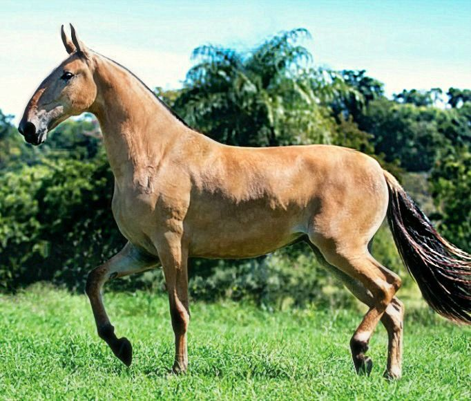 Campolina mare, Elite JHR.