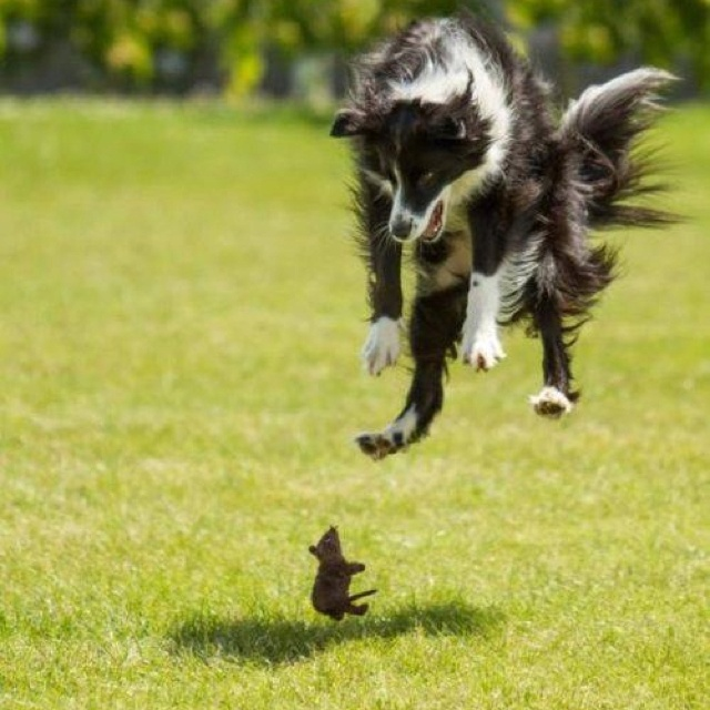 ..,: Mice, Border Collies, Puppies, Perfect Time Photos, Pet, Toys, Dogs Humor, Funny Dogs Pictures, Animal