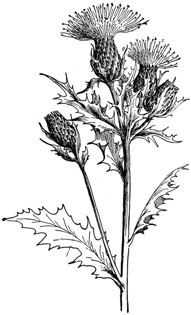 10 Best Botanical Painting Images On Pinterest Botanical