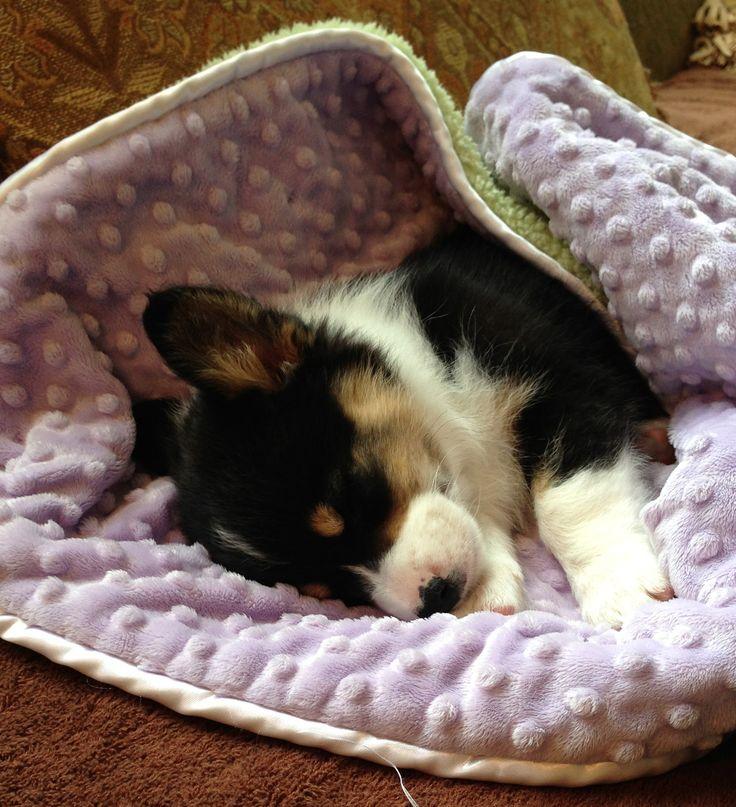 #corgi #puppy #dog #animal