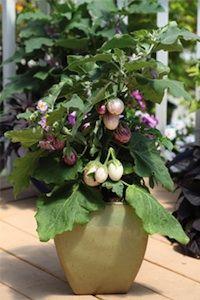 Pinstripe Patio eggplant seeds 2 - Garden Seeds - Vegetable Seeds