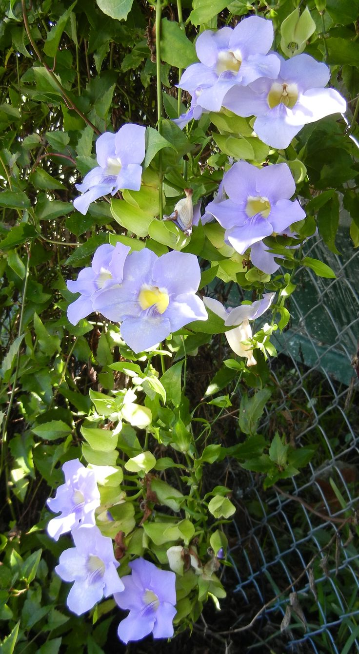 Blue sky vine plant nursery beautiful gardens vines