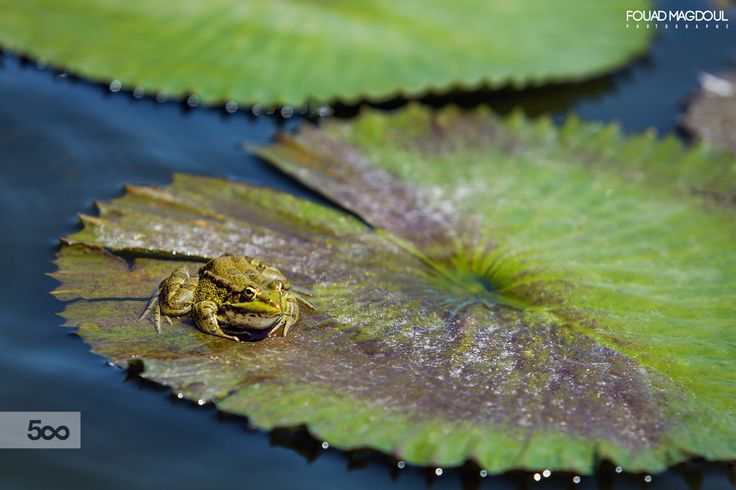 Frog by Fouad Magdoul on 500px