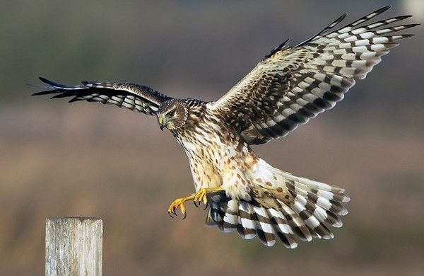 Hell Hat No Fury…..Northern-Harrier (Peregrine Falcon ...