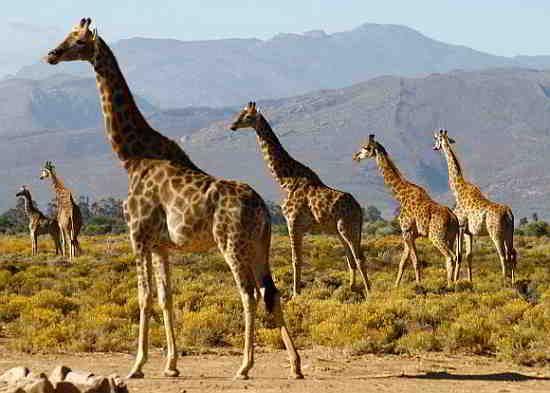 Beatiful Giraffes on a safari at Inverdoorn Reserve