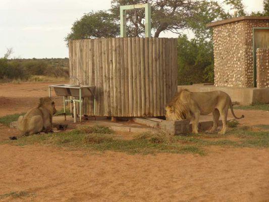 Lions nearby shower in the Kalahari desert, Mabuasehube area. Read the story: http://www.private-kalahari-safari.com/en/safari-blog/adventure-in-the-kalahari-desert