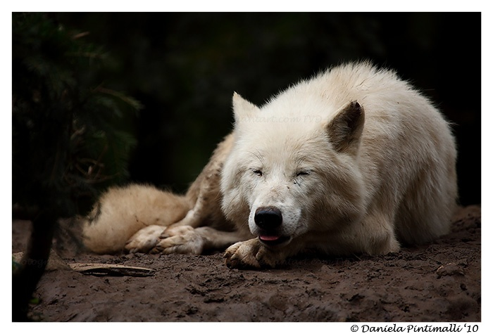 Meet Wolfie, he's a wolf :):  Arctic Wolf, Artic Wolves, Wolfi Wont, White Wolf, Meeting Wolfi