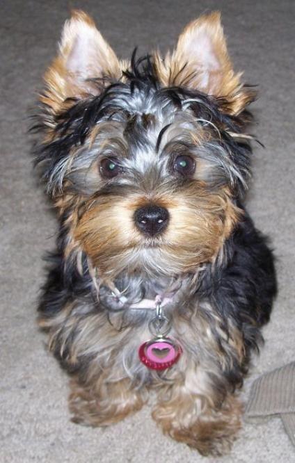 Australian Silky Terrier #Puppy #Dogs Look like Yorkie but Silkies are healthier! Love Silkies