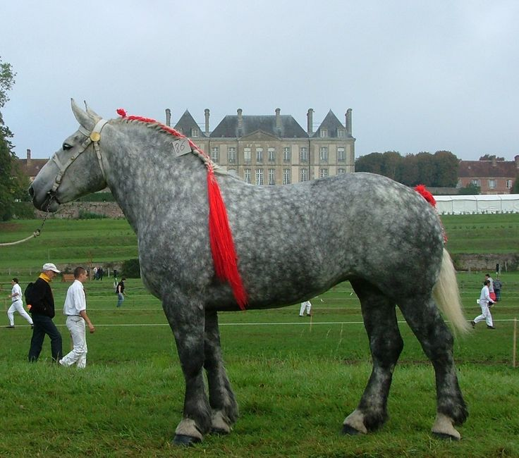 The Percheron is a breed of draft horse that originated in the Huisne river valley in western France, part of the former Perche province from which the breed takes its name. Usually gray or black in color, Percherons are well-muscled, and known for their intelligence and willingness to work. Img: France Trait - Percheron