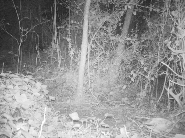 Possum Skull Chewing