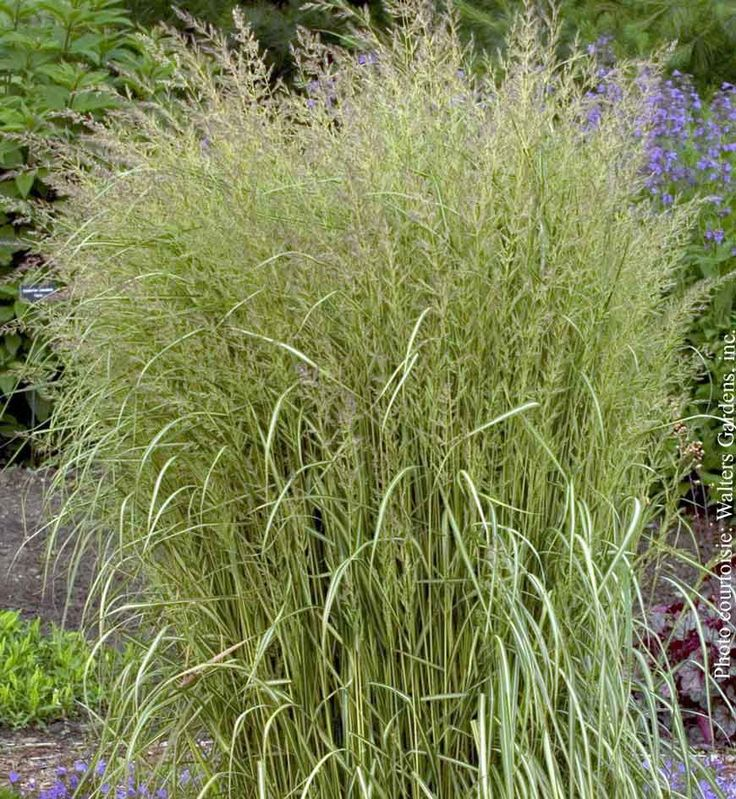 46 best glorious garden grasses images on pinterest garden grass calamagrostis acutiflora eldorado zone gold variegated form with narrow green leaves tan wheat like seed heads last all season workwithnaturefo