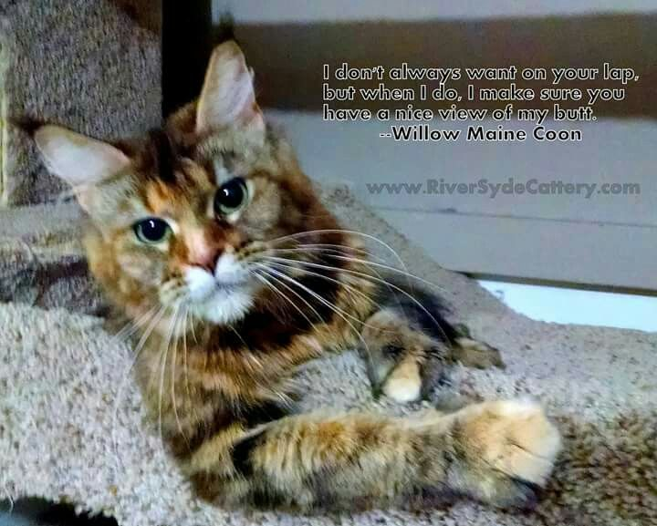 Maine coon cat meme | RiverSyde cattery | Cats, Maine coon ...