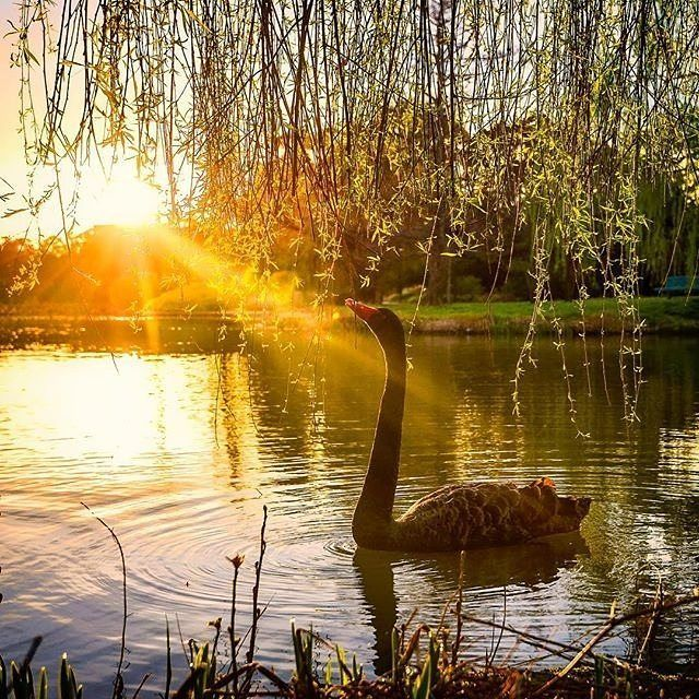 Instagrammer @carolelvin photographed this graceful swan soaking up the last rays of sunlight near Commonwealth Park. This landscaped park, on the edge of Canberra's Lake Burley Griffin, is the perfect place to spot wildlife, enjoy a picnic on the lawns or take a leisurely walk. #visitcanberra #onegoodthingafteranother
