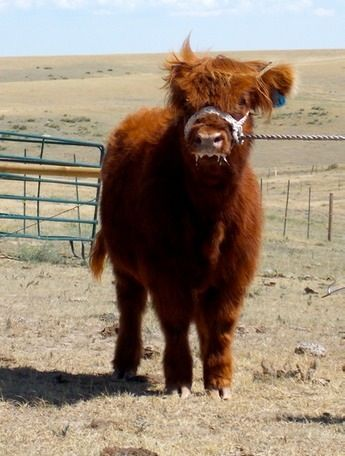 Sheila...  http://www.highlanderheaven.com/highland-cattle-for-sale/heifers-for-sale/j-bar-ts-sheila.html