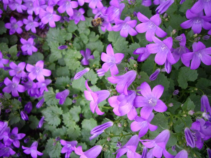 270 best campanula images on pinterest | canterbury, flower