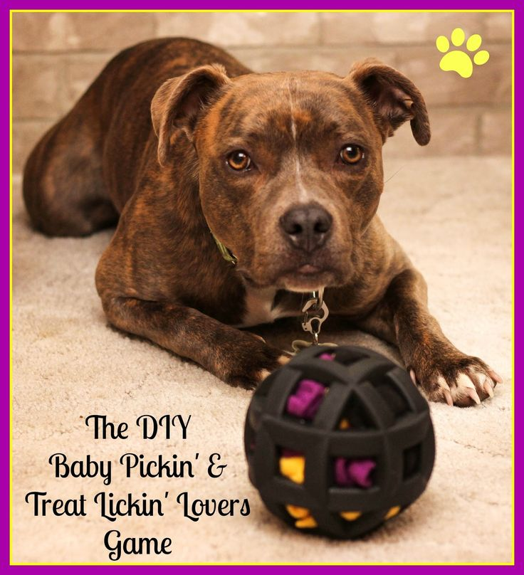 The DIY Baby Pickin and Treat Lickin Lovers Game.  A mentally stimulating enrichment game for dogs using a Hol-ee Roller, fleece scraps, treats, and kibble.  It's easy to set up, practically free, and will keep your dog busy, busy, busy!