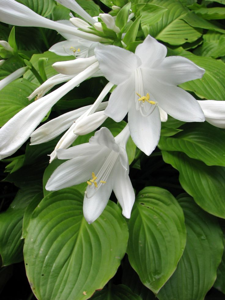 August Lily (hosta) Plantaginea -- Sweet Smelling and Beautiful