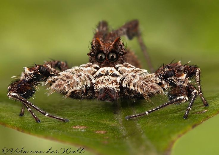 Portia schultzi. For more South African jumping spiders visit www.jumpingspiders.co.za (this photo is not on the site yet but will be added later). via Vida Van Der Walt FB - Vida Van Der Walt Photographer
