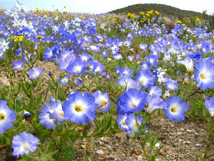 Chile,Atacama,Desierto Florido 2011. Suspiros (Nolana sp.)