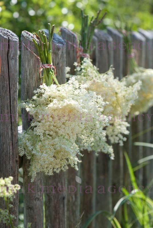 Elderflowers!