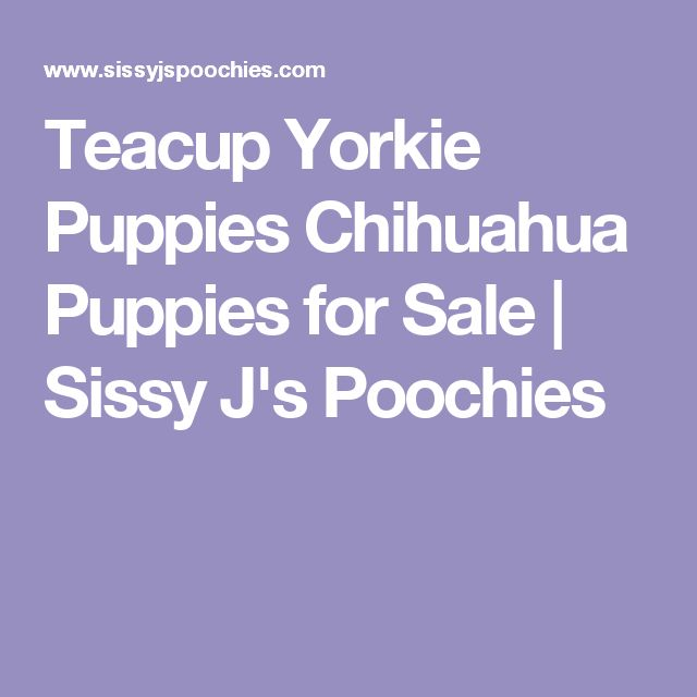 Teacup Yorkie Puppies Chihuahua Puppies for Sale | Sissy J's Poochies