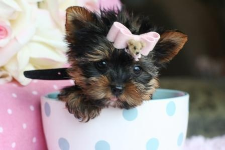 #TeacupYorkie This is what Haley wants... If anyone knows of one for sale, let us know! :)