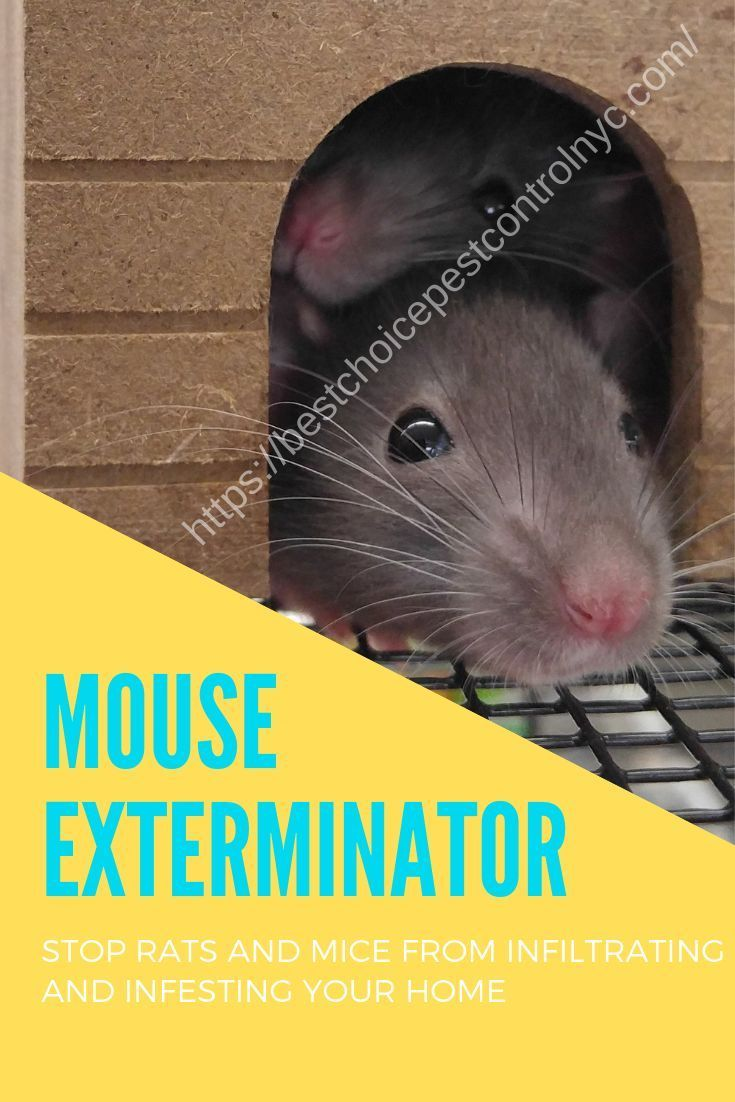 You Should Do The Hiring Of A Professional Mouse Exterminator If The Rat S Attack Is Serious Or You Just Don T Want To E Exterminator Getting Rid Of Rats Mouse