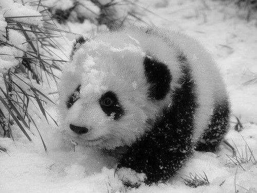 Panda in de sneeuw
