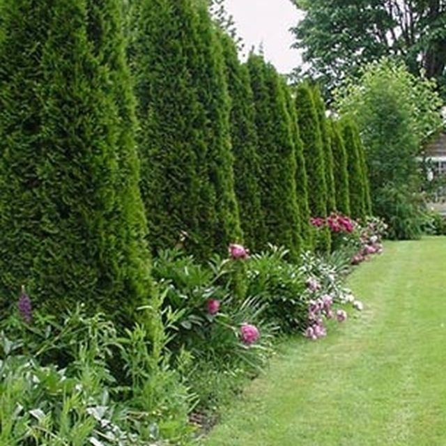 1000 ideas about arborvitae landscaping on pinterest