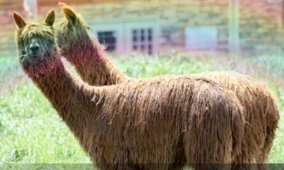 alpacas+rainbow