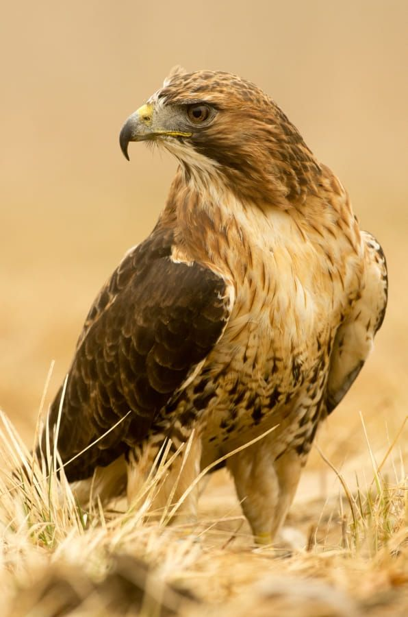Red-tailed hawk by Jan Pelcman on 500px
