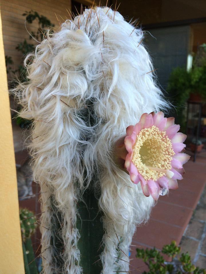 Cactus. Latin name: Pilosocereus Leucocephalus.  Common names: woolly torch/old man of Mexico